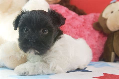 how big do havanese dogs get royal flush havanese puppies for sale in florida