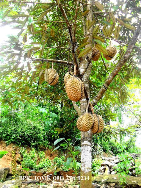 Bibit Durian Bawor Berbuah pohon durian bawor berbuah gif edir