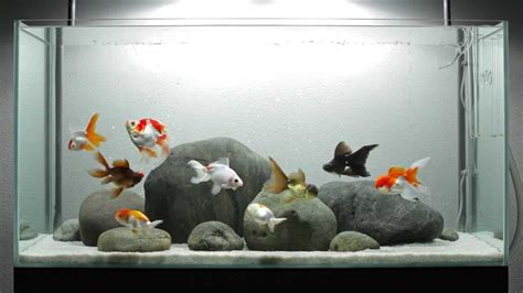 aquarium design group goldfish a layout for fancy goldfish youtube