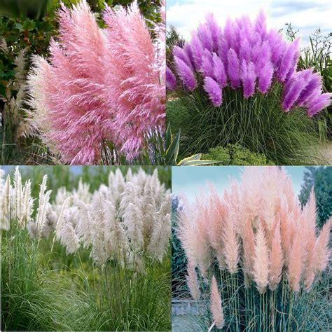 1000 seeds pas grass purple pink white red cortaderia selloana garden flowers ebay
