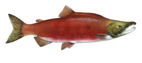 file oncorhynchus nerka jpg wikipedia