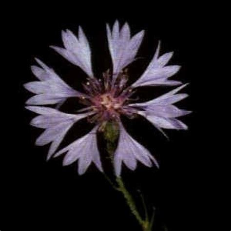 fiore fiordaliso fiori fiordaliso fiori delle piante