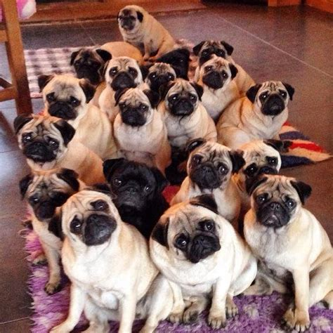 pug grumble pug rescue network on quot rt it is a gaggle of pugs let s eat fawnpugs