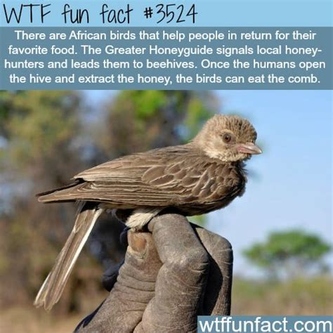 7 Strange And Wonderful Animal Facts by The Honeyguide Bird Animals Facts
