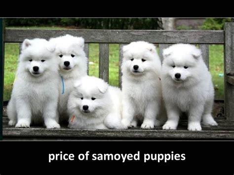 samoyed puppies price price of samoyed puppies