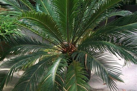palma pianta da giardino palma cycas piante da giardino palma cycas caratteristiche