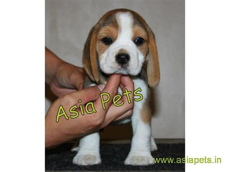 beagle puppies price beagle puppy price in surat beagle puppy for sale in surat beagle surat india