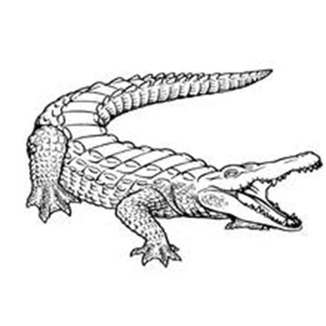 coloring page of american alligator animals printable coloring pages