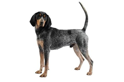 blue tick breeds purina new zealand purina