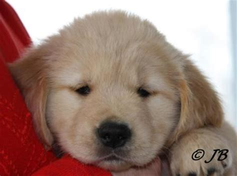 golden retriever puppies wichita ks golden retriever puppies for sale in michigan 2014 photo
