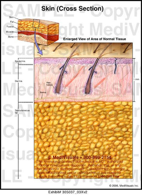 cross section of the skin medivisuals skin cross section medical illustration