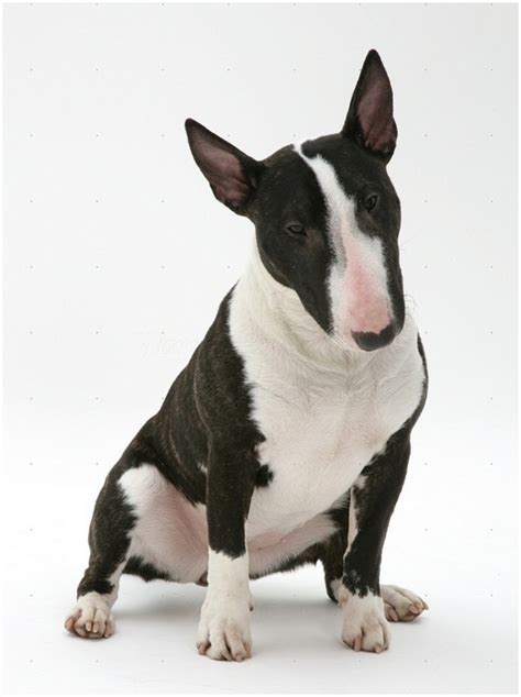 bull terrier miniature the life of animals miniature bull terrier facts pictures puppies