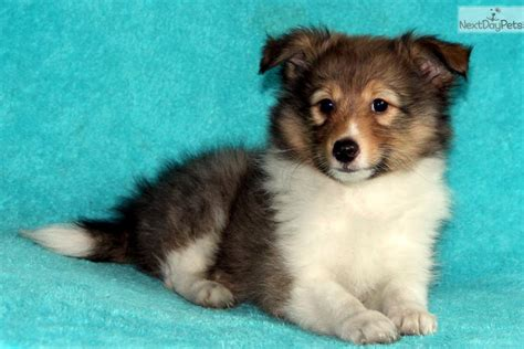 puppies for sale in rochester ny jerry shetland sheepdog sheltie puppy for sale near rochester new york b56f2b11