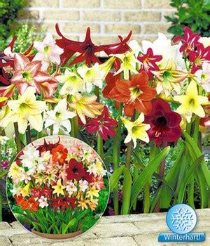 Garten Amaryllis Pflegen Pflanzen by Amaryllis Pflege Schneiden 252 Berwintern Pflanzen