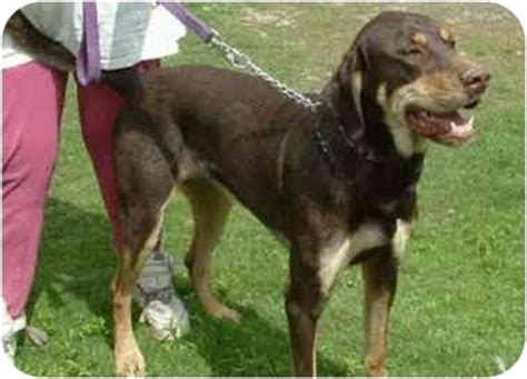 rottweiler great dane mix greyhound mix with rottweiler breeds picture