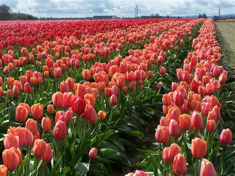 6 khu vườn hoa tulip chỉ nh 236 n th 244 i cũng khiến người ta ngất ng 226 y bởi qu 225 đẹp qu 225 rực rỡ