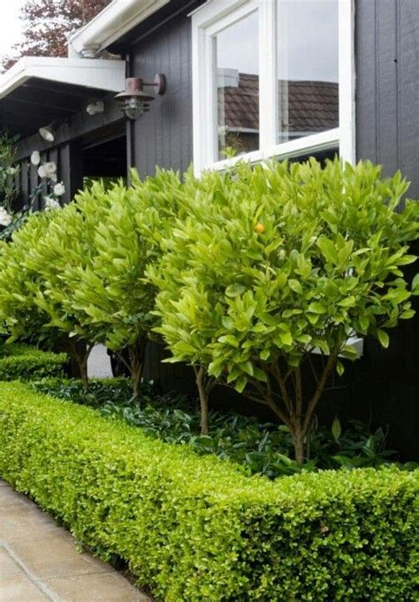 Garden Hedge Ideas Front Yards Yard Hedges
