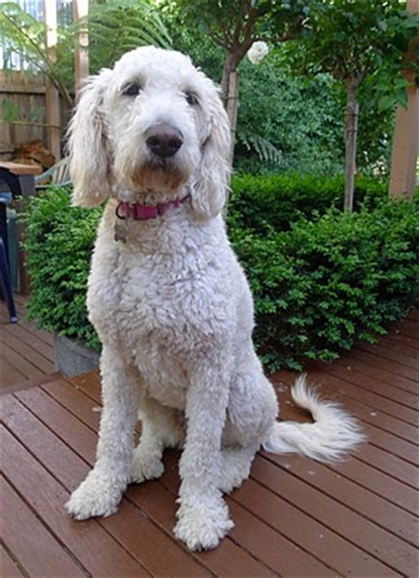 millie is a groodle which means she is a poodle crossed