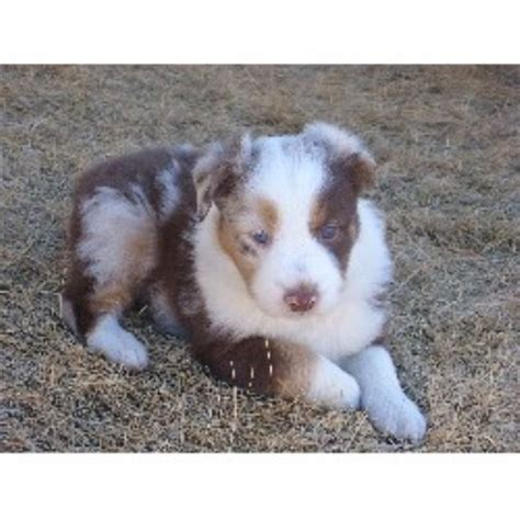 free puppies in nebraska wray aussies australian shepherd breeder in lincoln nebraska listing id 20446