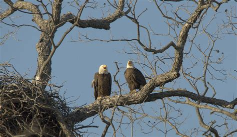 bald eagles mating bald eagles mating call photograph by roy williams