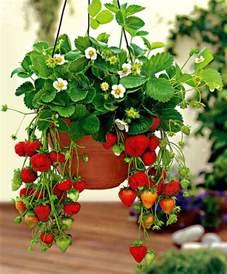 hanging strawberry plants the indoor gardener