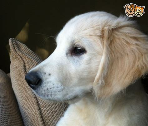 golden retriever for sale hshire reluctant sale golden retriever 4 months chester cheshire pets4homes