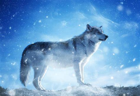 imagenes de lobos en 4k lobos im 225 genes y fotos