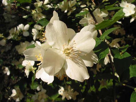 pianta ricante con fiori bianchi fiori bianchi foto immagini piante fiori e funghi