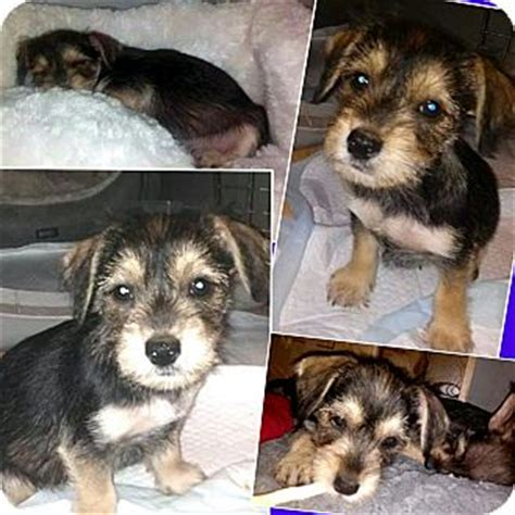 yorkie mix puppies for adoption schnauzer yorkie mix facts breeds picture