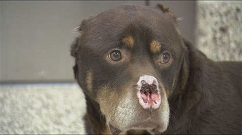 rottweiler ears cut person comes across a rottweiler who s nose ears and were chopped