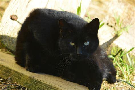 Black Cat black cat day the feral cat