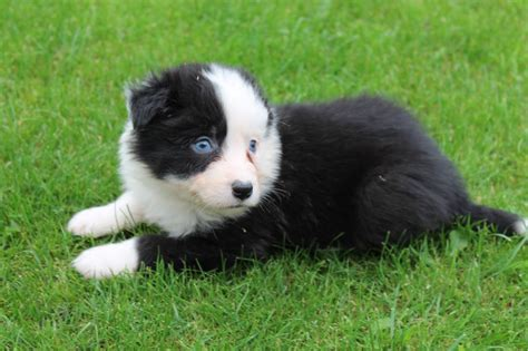 border collie puppies illinois border collie puppies for sale breeds breed design bild