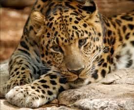 Jaguars Moving To La File Leopard Digitalart Jpg Wikimedia Commons