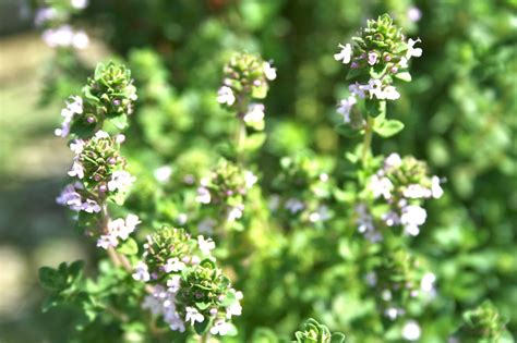 thyme   herb  cures  diseases  healthy life