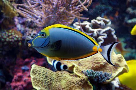 Peletpakanmakanan Ikan Laut Sera Food Marine Fish Naso Elegans Http Www Wikimarino Pez Naso Elegans