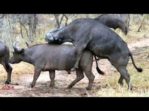 Animal Matting by Animal Mating Buffalo Mating