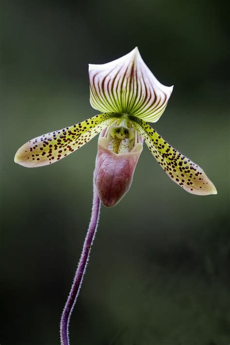purple slipper orchid 30 best images about orchids on purple orchid