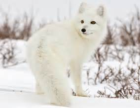 arctic fox color arctic fox