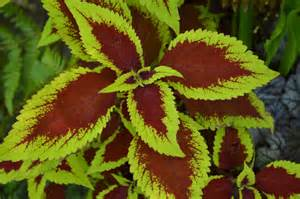 Shaded Backyard Ideas Coleus Colorful Shade Plants Easily Grown From Seed Or