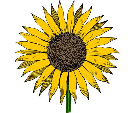 Printable Sunflower Images | free clip art sunflower vector image clip art department
