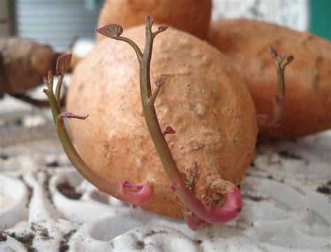 growing sweet potatoes down to earth