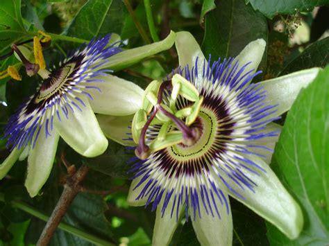 fiori passiflora passiflora o fiore della passione 25 5 2013 1f