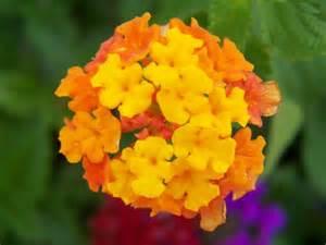 Orange Glory Flower - flower picture lantana flower