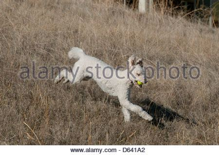 cross between a golden retriever and a poodle goldendoodle cross between a golden retriever and a standard poodle stock photo
