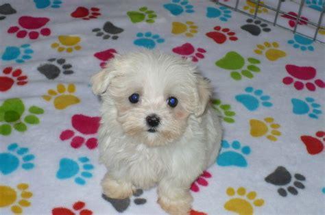 maltese puppies for sale az view ad maltese puppy for sale arizona tucson