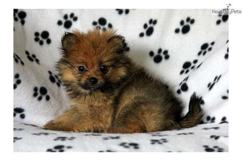pomeranian near me pomeranian puppy for sale near lancaster pennsylvania c453c6d6 ae51