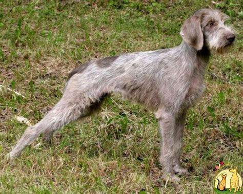 Types Of Wire Haired Dogs by German Wirehaired Pointer Pets World
