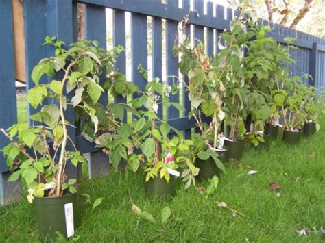 container gardening raspberries will raspberries overwinter well in the pots they came in