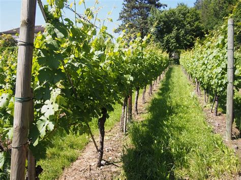 backyard vineyard design small backyard vineyard 28 images backyard oasis