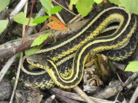 Garden Snake With Yellow Stripe Photo